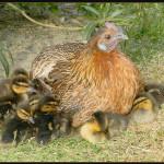 coquin de caneton sous maman poule